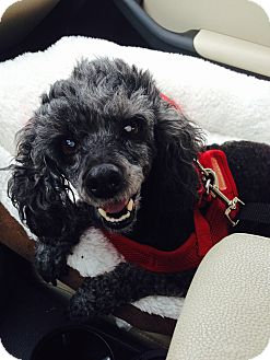 Poodle (Miniature) Dog for adoption in Wilmington, Massachusetts - Nahla:Gentle Girl! (NJ)