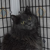 Domestic Longhair Cat for adoption in Denver, Colorado - Nouri