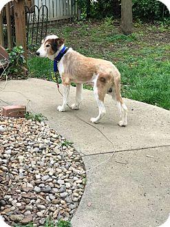 Collie/Sheltie, Shetland Sheepdog Mix Dog for adoption in Powell, Ohio - Caleb