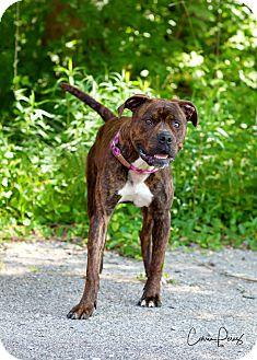 Mastiff Mix Dog for adoption in Cape Girardeau, Missouri - Bandit