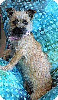 Brussels Griffon/Chihuahua Mix Puppy for adoption in Hagerstown, Maryland - Sadie