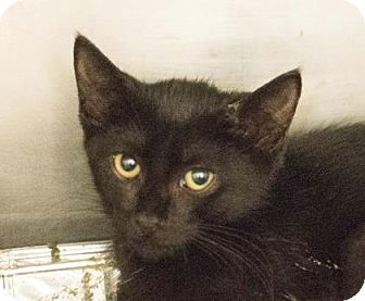 Domestic Shorthair Kitten for adoption in Decatur, Georgia - Toddy