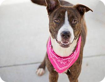 American Pit Bull Terrier Mix Dog for adoption in Decatur, Georgia - Zeva