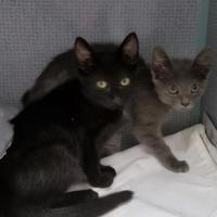 Domestic Shorthair/Domestic Shorthair Mix Cat for adoption in Manteo, North Carolina - Moo