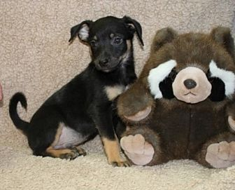 Chihuahua Mix Puppy for adoption in Hagerstown, Maryland - Taco