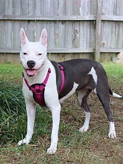 American Staffordshire Terrier Mix Dog for adoption in West Springfield, Massachusetts - Lila