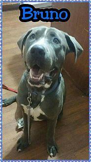 Pit Bull Terrier Mix Dog for adoption in Phoenix, Arizona - Bruno Boy