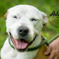 American Bulldog Mix Dog for adoption in Lindenwold, New Jersey - January