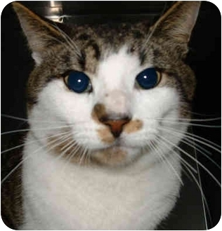 Domestic Shorthair Cat for adoption in Honesdale, Pennsylvania - Nickleby