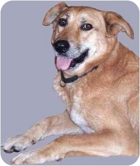 Labrador Retriever Mix Dog for adoption in Grass Valley, California - Brownie*URGENT*