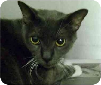 Domestic Shorthair Cat for adoption in Albany, Georgia - Smokie