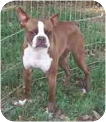 Boston Terrier Dog for adoption in Cole Camp, Missouri - Hannah