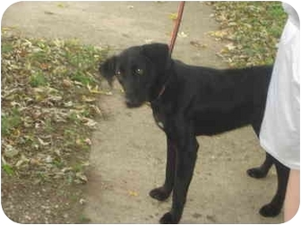 Labrador Retriever Mix Dog for adoption in Olney, Illinois - Jasmine