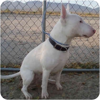 Bull Terrier Puppy for adoption in Los Angeles, California - Bully