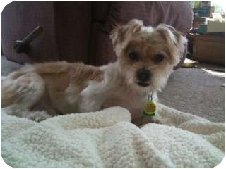 Shih Tzu/Yorkie, Yorkshire Terrier Mix Dog for adoption in Mount Gretna, Pennsylvania - Benji