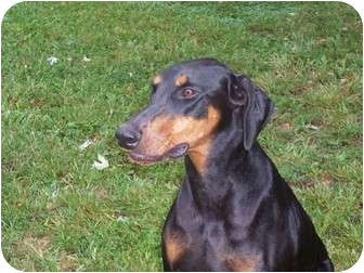 Doberman Pinscher Dog for adoption in New Richmond, Ohio - Diesel--adopted!!