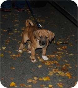 Bulldog/Rhodesian Ridgeback Mix Puppy for adoption in Wasilla, Alaska - Humphrey