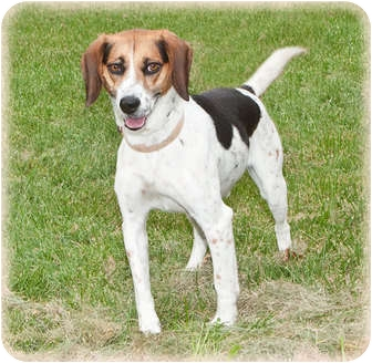 Beagle Mix Dog for adoption in Howell, Michigan - Chip