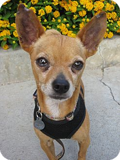 Chihuahua Mix Dog for adoption in Van Nuys, California - Buddy