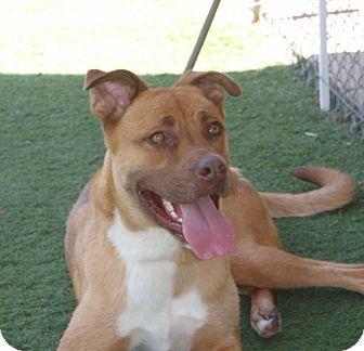 Shepherd (Unknown Type) Mix Dog for adoption in Corona, California - Duke