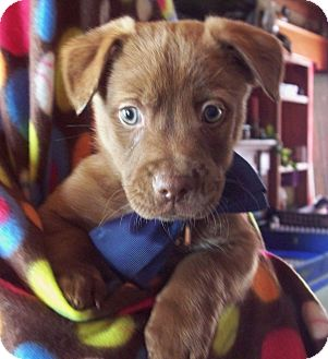 Shepherd (Unknown Type) Mix Puppy for adoption in Union City, Tennessee - Shea