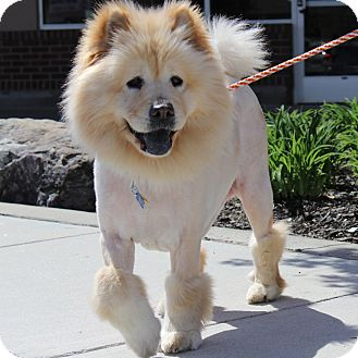 Chow Chow Dog for adoption in Tucker, Georgia - Honey