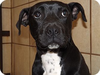 Pit Bull Terrier/Labrador Retriever Mix Dog for adoption in Thomaston, Georgia - Tuxedo Tony