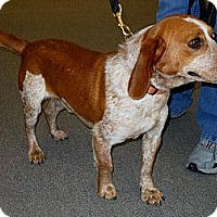 Adopt A Pet :: Red - Courtesy - Indianapolis, IN