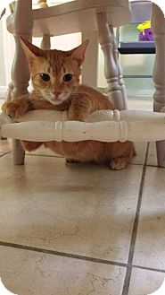 Domestic Shorthair Cat for adoption in Gainesville, Florida - Cofrin