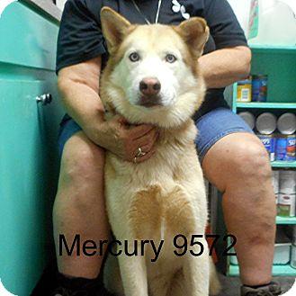 Husky Dog for adoption in Greencastle, North Carolina - Mercury