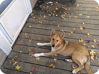 Shepherd (Unknown Type) Mix Puppy for adoption in Warwick, Rhode Island - Ava
