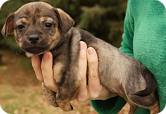 Yorkie, Yorkshire Terrier/Dachshund Mix Puppy for adoption in Newark, Delaware - Flirt