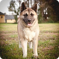 Akita Dog for adoption in Toms River, New Jersey - Gemma
