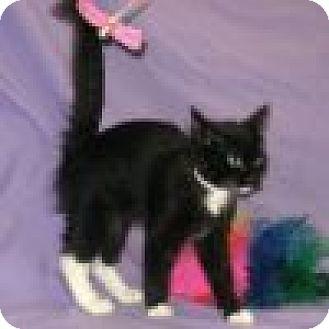 Domestic Shorthair Cat for adoption in Powell, Ohio - Harper