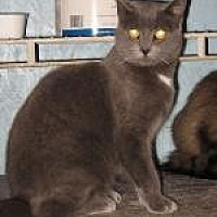 Domestic Shorthair Cat for adoption in Brainardsville, New York - Lexie