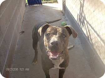 Boxer/Staffordshire Bull Terrier Mix Dog for adoption in KELLYVILLE, Oklahoma - TYGE