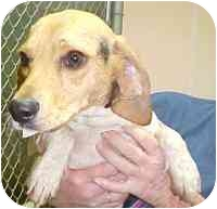 Beagle Mix Dog for adoption in Frankfort, Illinois - Mary