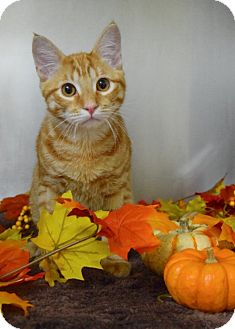 Domestic Shorthair Cat for adoption in Dublin, California - Oscar