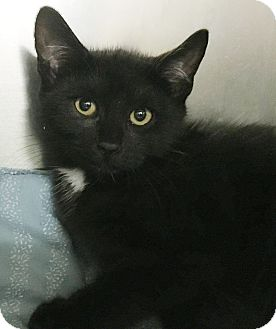 Domestic Shorthair Cat for adoption in Clayville, Rhode Island - Hershey