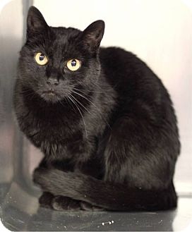 Domestic Shorthair Cat for adoption in South Haven, Michigan - Lucy