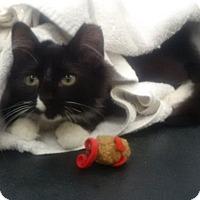 Adopt A Pet :: Romeo - Kensington, MD