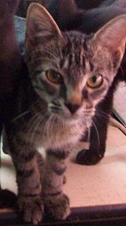 Domestic Shorthair Kitten for adoption in Morriston, Florida - BOWEN