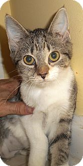 Domestic Shorthair Kitten for adoption in Chattanooga, Tennessee - Fuji