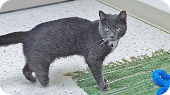 Domestic Shorthair Cat for adoption in Chambersburg, Pennsylvania - Daisy