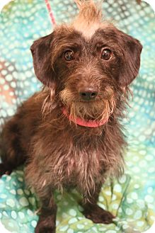Dachshund/Poodle (Miniature) Mix Dog for adoption in Allentown, Pennsylvania - Copper