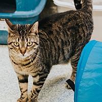 Adopt A Pet :: Tiramasu - Indianapolis, IN