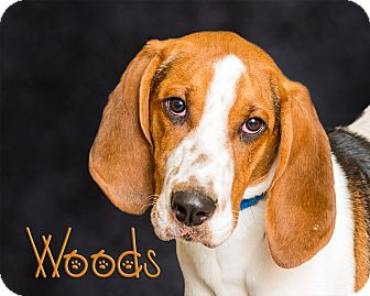 Treeing Walker Coonhound Dog for adoption in Somerset, Pennsylvania - Woods