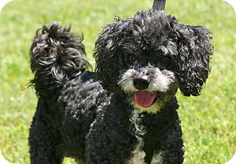 Poodle (Miniature) Mix Dog for adoption in Carlsbad, California - Bruno
