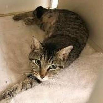 Domestic Shorthair Cat for adoption in Dallas, Texas - Bonnie