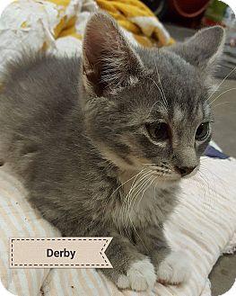Domestic Shorthair Kitten for adoption in Overland Park, Kansas - Derby
